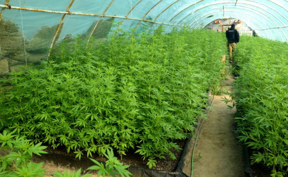 Znalezione obrazy dla zapytania plantacja marihuany