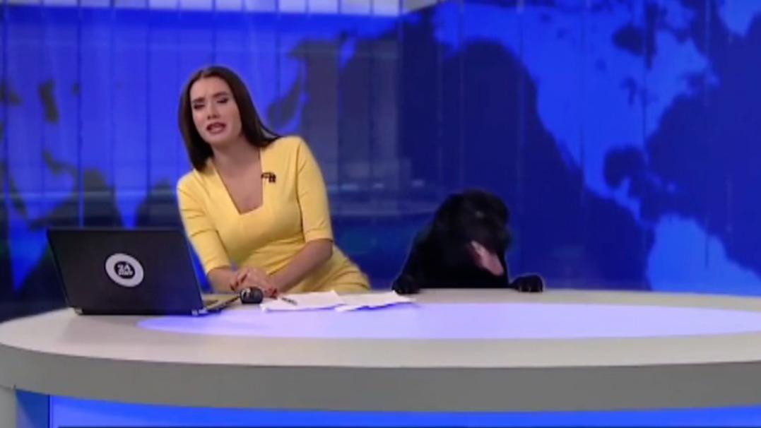 Pies na żywo