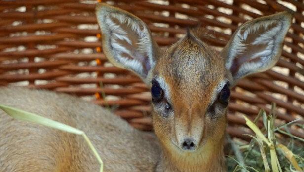 e1c62ea07c95c Kolejne maleństwo przyszło na świat we wrocławskim zoo. Jak poinformowano w  czwartek, pod koniec lutego narodziła się samiczka dikdika.