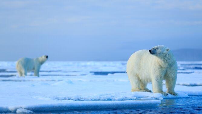 Niedźwiedzie polarne są na krawędzi. <br />Mogą wyginąć do końca wieku