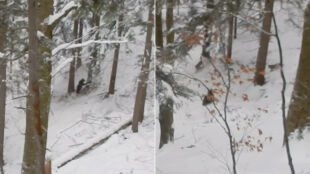 Wrogie spotkanie niedźwiedzi i wilków w Bieszczadach
