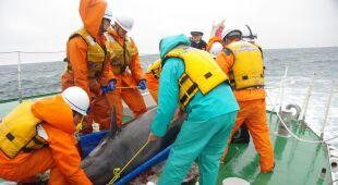 Trwa akcja ratunkowa 150 delfinów wyrzuconych na plażę